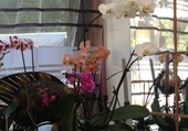 MES ORCHIDEES ONT REFLEURIS