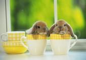 Lapins bélier nains dans des tasses