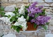 Vivement le lilas...