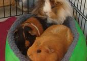 Puzzle Trois cochons d'inde pour un couffin