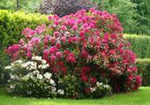 magnifique massif de rhododendrons
