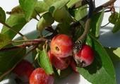 Puzzle Couleuvre et petites pommes