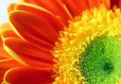 fleur camaïeu couleur