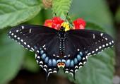 Puzzle Quel est le nom de ce papillon