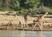 Puzzle Girafes réticulées