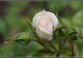 Bouton de rose du jardin.