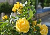 Rosier nain jaune