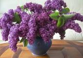Bientôt le lilas du jardin