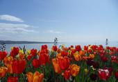 un tapis de tulipe