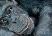 Puzzle Chimpanzé pensif