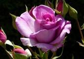Rose de plus ...
