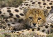 Adorable petit guépard...