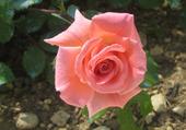 Jolie rose !!!