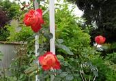 joli rosier