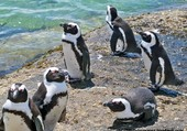 Pingouins sur une plage