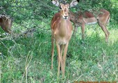 Puzzle Gracieuse impala