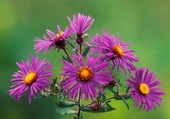 Asters violets