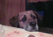 chien intriguer