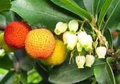 Fleurs et fruits d'arbouses