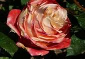 Rose thé