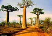 Avenue des Baobabs