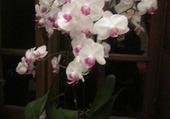 Puzzle mes orchidées