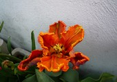 Puzzle tulipe