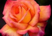 Puzzle Magnifique rose orangée