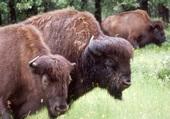 Puzzle bisons