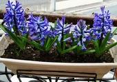 Jacinthes bleues !