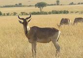 Puzzle Bubale et autres antilopes