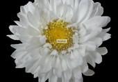 Fleur FN (10) par M-H Belkorchi