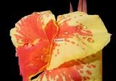 Fleur FN (9) par M-H  Belkorchi
