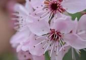 Fleur de ceriser