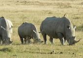 Famille Rhino paissant