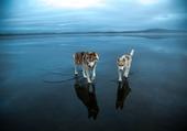 Des Huskies