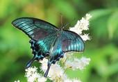 Puzzle Papillon bleu