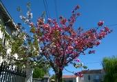 Arbre en fleurs à Bordeaux St Augustin