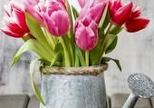Des tulipes dans un vieil arrosoir