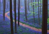 Forêt de Hallebos en Belgique
