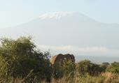 Eléphant devant Kilimandjaro