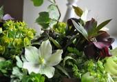 Un bouquet d'hellebores