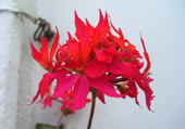geranium rouge en 2009