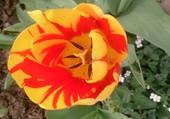 tulipe jaune avec du rouge