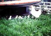 La poule et ses Petits
