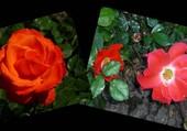 Rose et églantine
