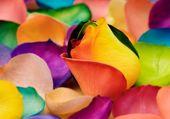 petales de roses