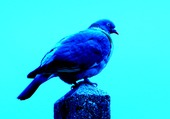 Un pigeon bleu