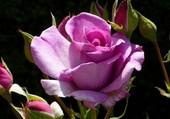 Jolie rose parme
