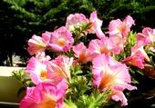 Puzzle Fleurs de Surfinias rose